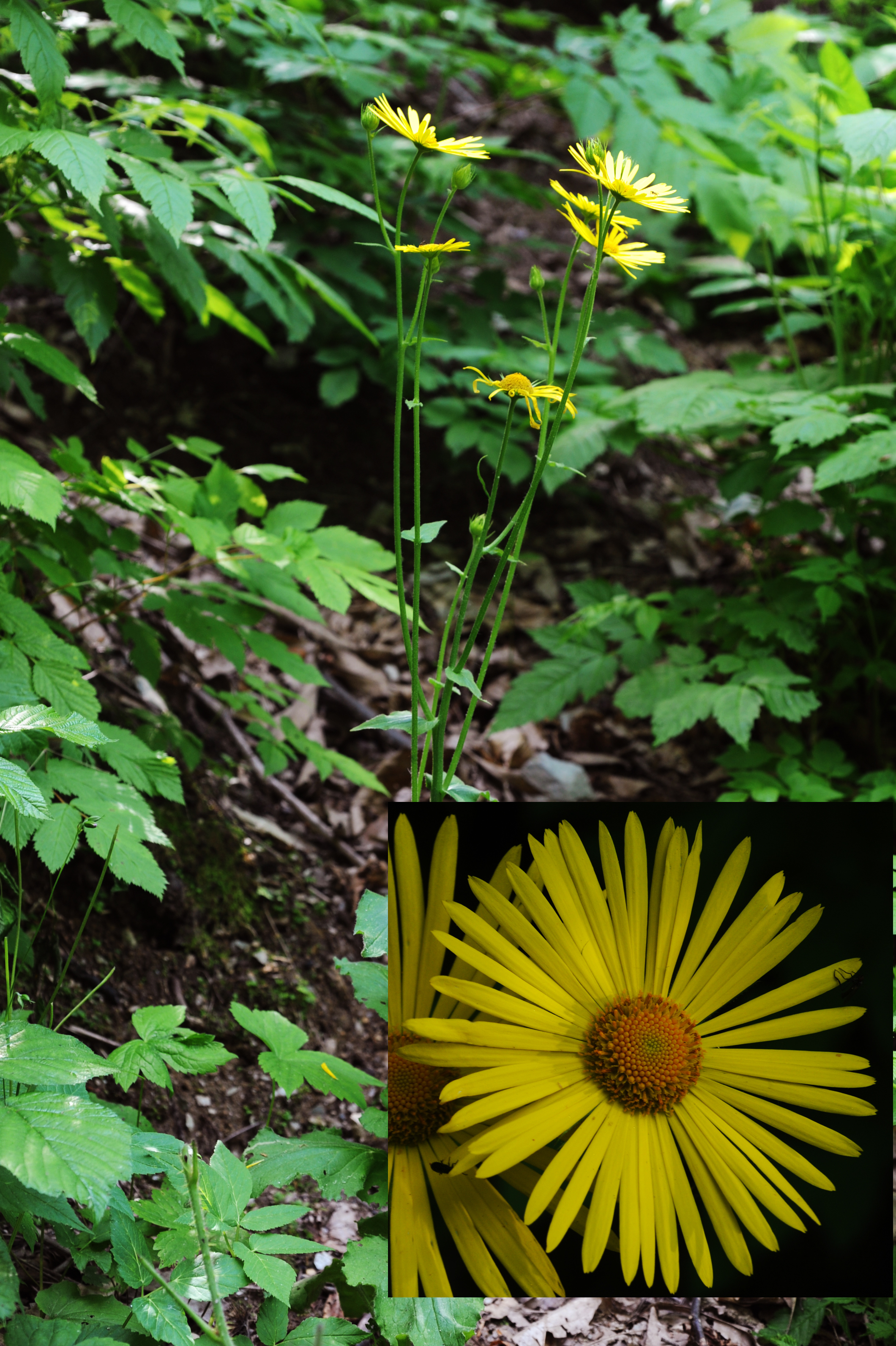 Doronicum pardalianches L.